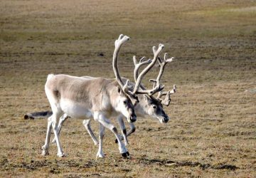 Peary Caribou at Qausuittuq National Park